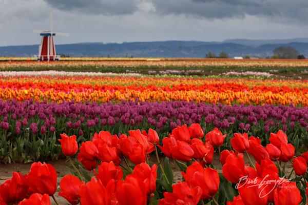 tulips-woodburn-14