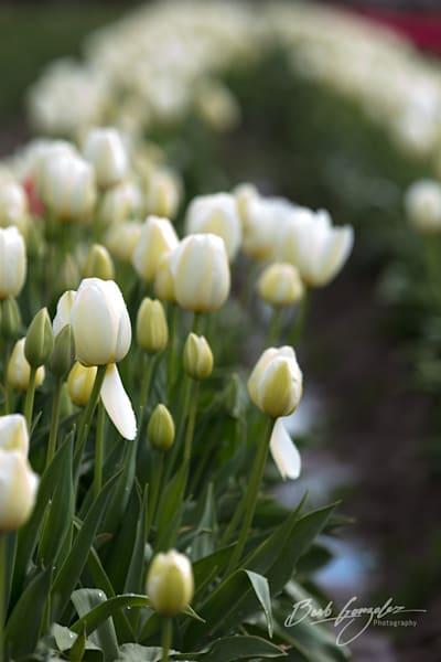 tulips-woodburn-7