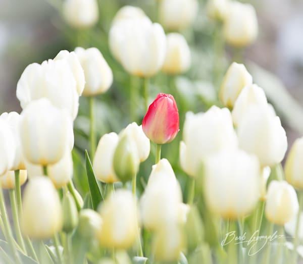 tulips-woodburn-8