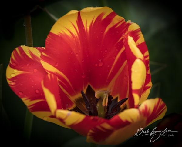 tulips-woodburn-3