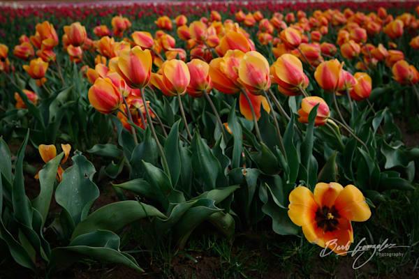 tulips-woodburn-5