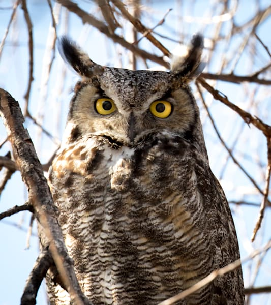 Great Horned Owl Photography Art | Barb Gonzalez Photography