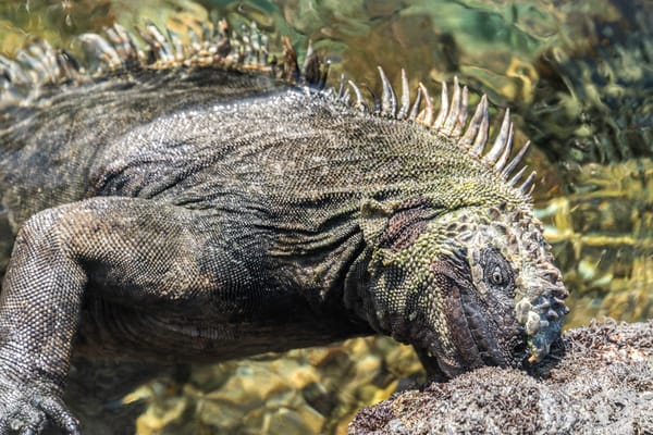 Galapagos marine iguana eating