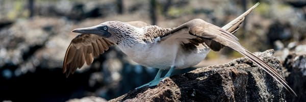 Panorama of Blue-Footed Booby about to fly