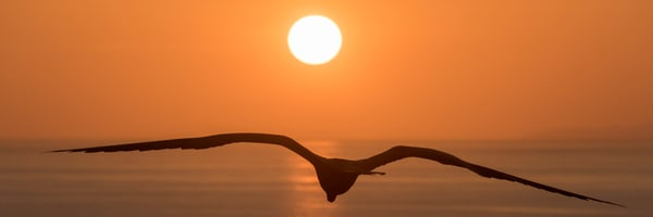 Panorama of Frigate bird at sunset
