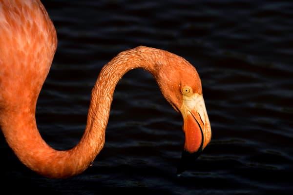 Galapagos flamingo closeup profile