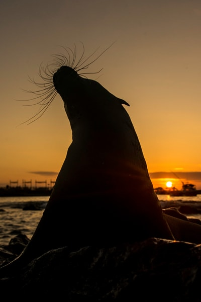 Silhouetted sea lion with sunset in back