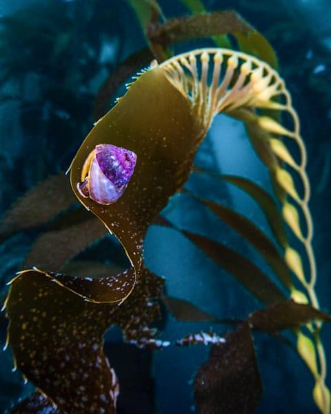 Top Snail on Kelp