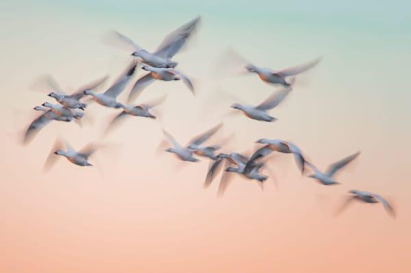 Snow Goose Pastel Photography Art by cbpphoto