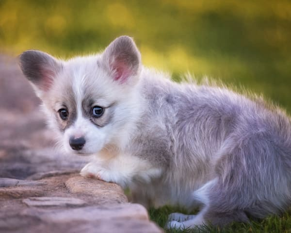 Portrait Of Truffle As A Puppy Photography Art by cbpphoto