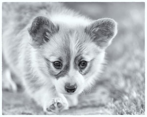 Corgi Puppy, B&W Photography Art by cbpphoto