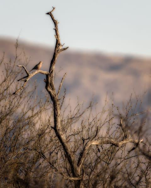 Dove On A Branch Photography Art by cbpphoto
