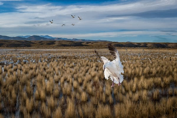 Snow Goose Landing in a New Mexico Field