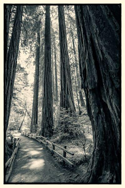 Path Through The Redwoods, B&W Photography Art   Carol Brooks Parker Fine Art Photography