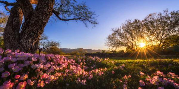 Desert Wildflowers At Sunrise Photography Art | Carol Brooks Parker Fine Art Photography