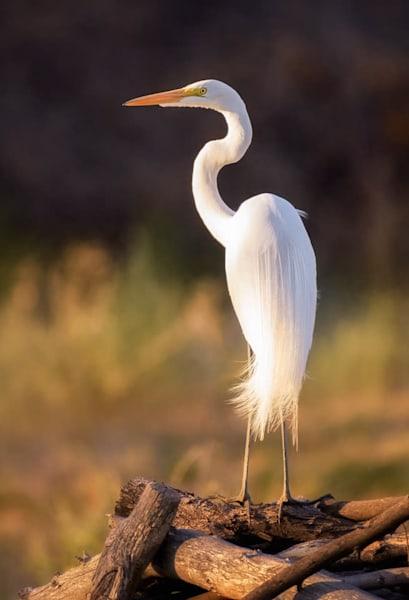 Great Egret in the Arizona Desert