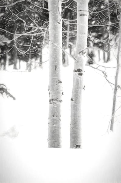Colorado Aspen Tree in BW