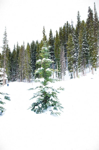 Colorado Blue Spruce Tree in  the Snow
