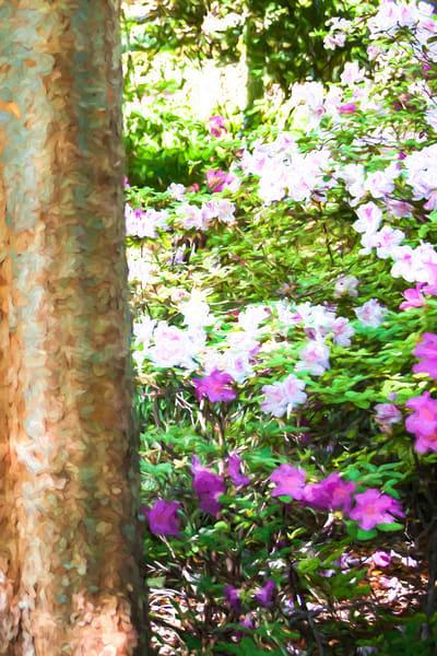 Grapevine Texas Botanic Garden Azaleas Art