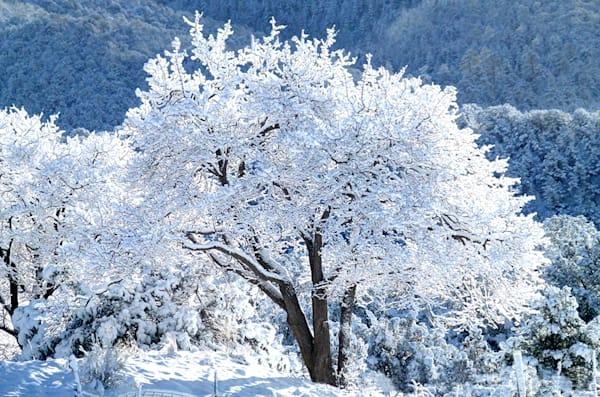 Frosty Apricot Tree
