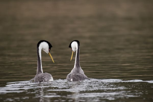 Western Grebe Courtship, San Diego, California