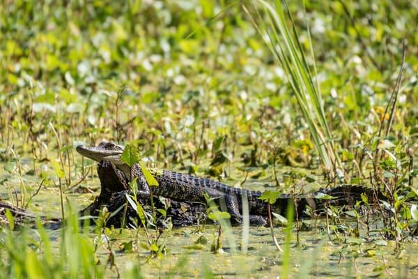 American Alligator Juvenile, Damon, Texas