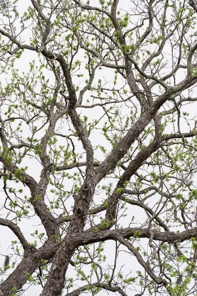 Live Oak Tree New Leaves, Damon, Texas