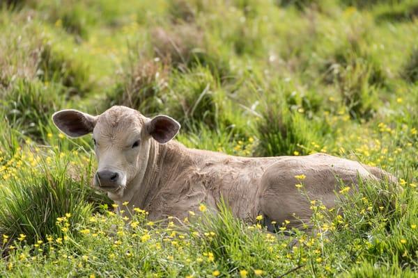 Newborn Calf and Wildflowers, Damon, Texas