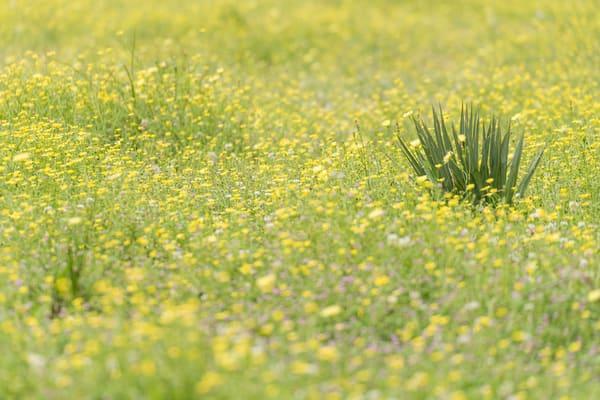 Yellow Wildflowers, Damon, Texas