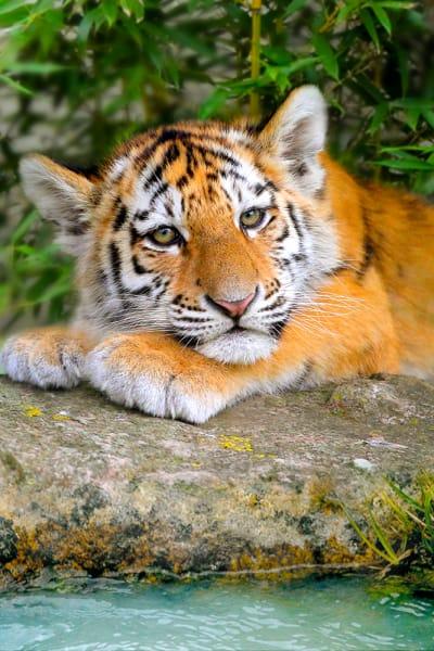 tiger2017