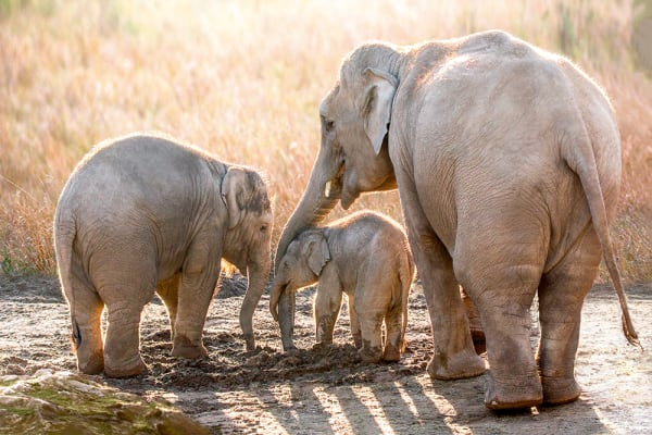 elephants-family