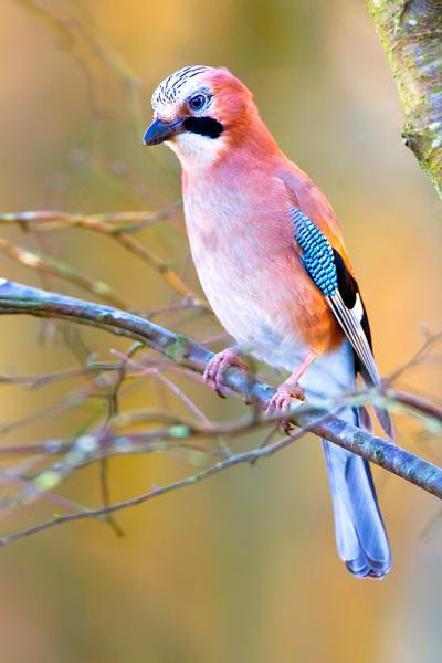 Garden-Birds-12