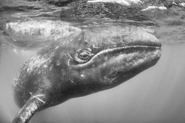 Gray Whale Baby, Guerrero Negro, Mexico