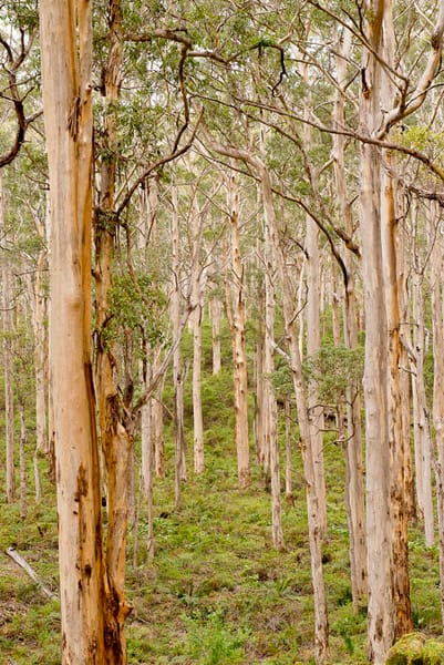 Photograph of Karri trees by Ivy Ho for sale as fine art