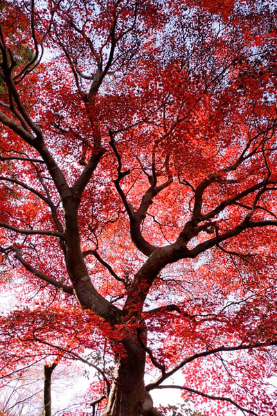 Crimson autumn leaves in Rurikoin by Ivy Ho as fine art photograph