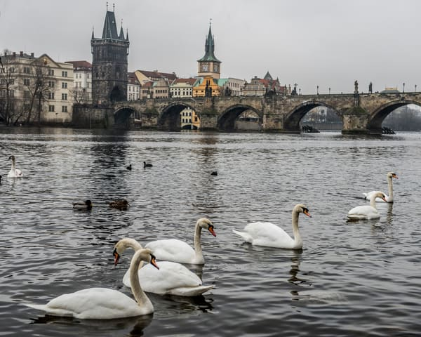 Swans of Prague looking toward the Charles Bridge