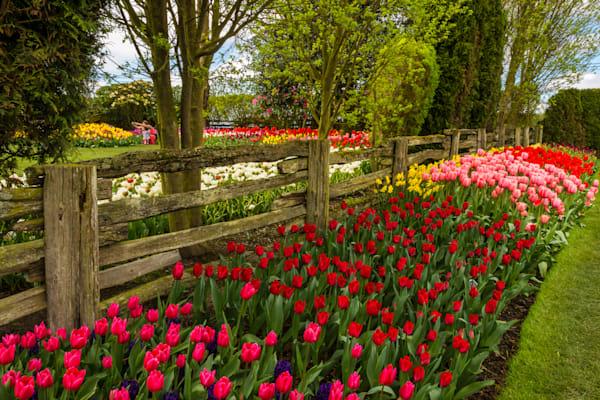 Skagit Tulip Gardens