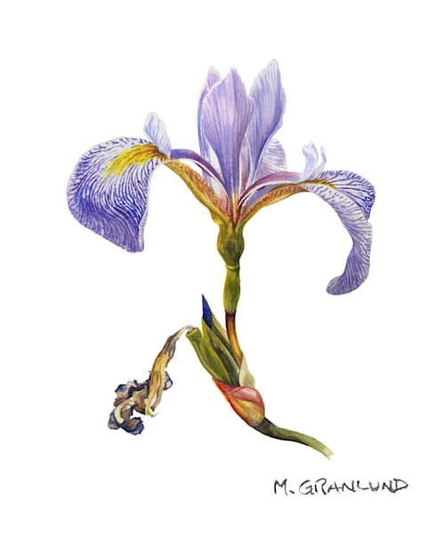 Blue Flag Iris Painting by Mark Granlund