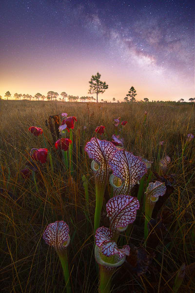 White Topped Pitcher Plants Fine Art Photographs | Waldorff Photography