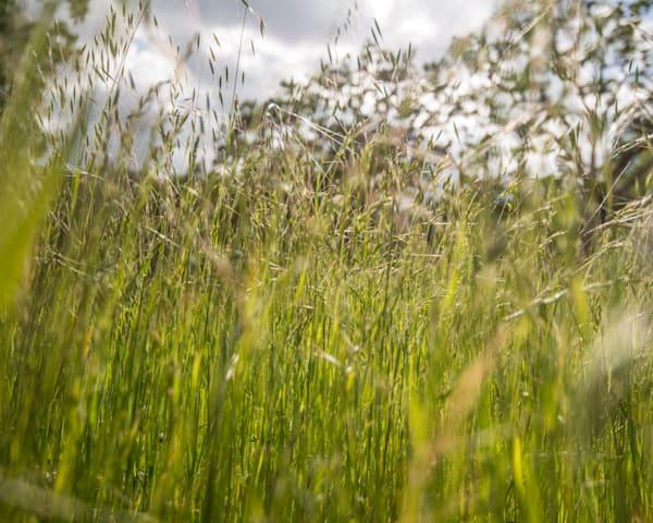 Aetna Springs Grass