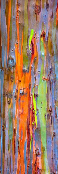 """Rainbow Eucalytpus"""