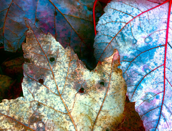 Photosynthesis|Fine Art Photography by Todd Breitling|Trees and Leaves