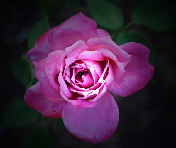 Gallica Rose|Fine Art Photography by Todd Breitling|Flowers|Todd Breitlin g Art