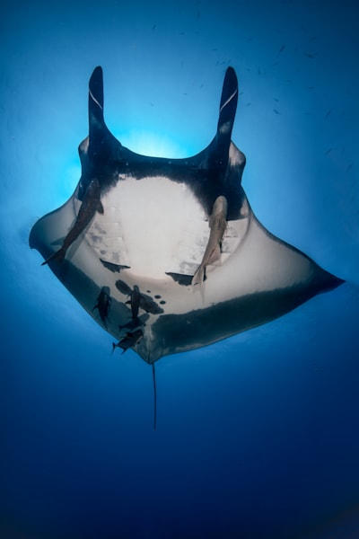 Giant Pacific Manta Ray