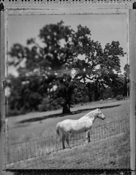Horse and Oak bw