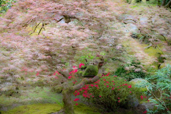 Japanese Maple - fine art photography - Portland Oregon