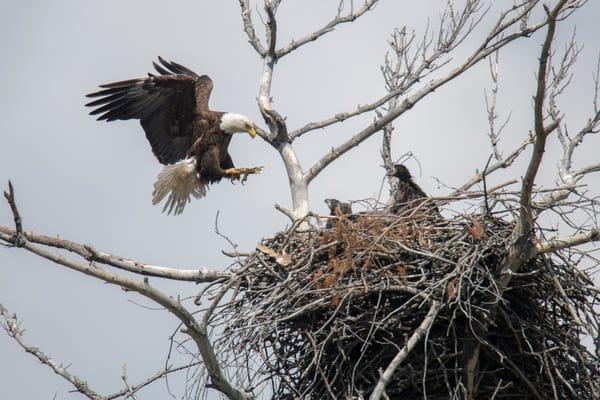 Eagles final approach - landing in the nest - fine art photography