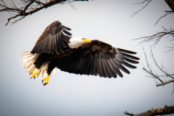 Bald Eagle Wings - Fine Art Photography - power and beauty