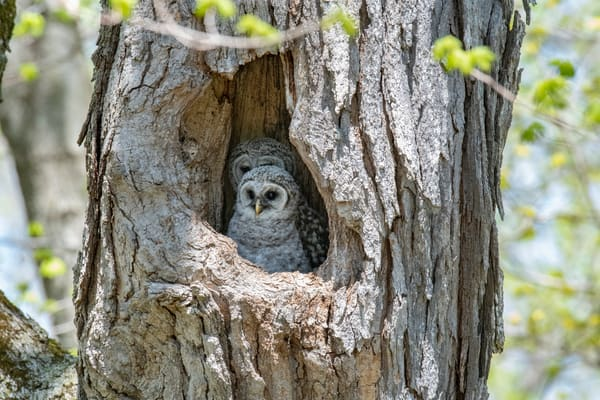 two young barred owlets - fine art photography - aluminum art gallery