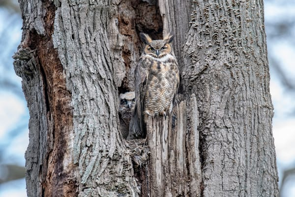 Great Horned Owl perched - guarding her tree nest - fine art photography
